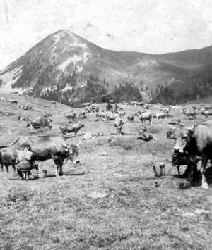 enfanr accordéon vaches